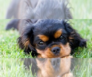 English Toy Cocker Spaniel