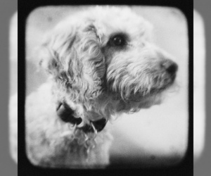 Small #10 Breed Labradoodle image