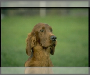 Small Photo #2 Irish Setter Dog Breed