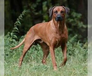 Small #5 Breed Rhodesian Ridgeback image