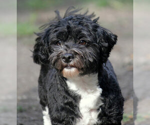 Small #2 Breed Havanese image
