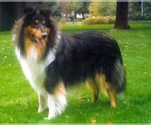 Small #2 Breed Collie image