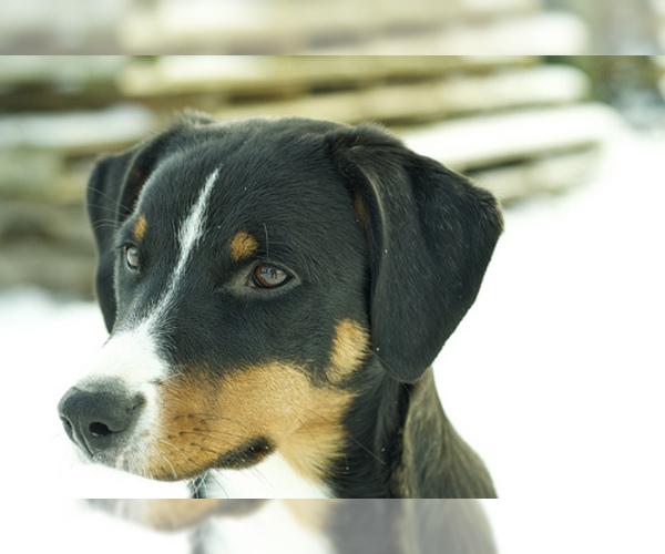 Medium Photo #3 Appenzeller Sennenhund Dog Breed