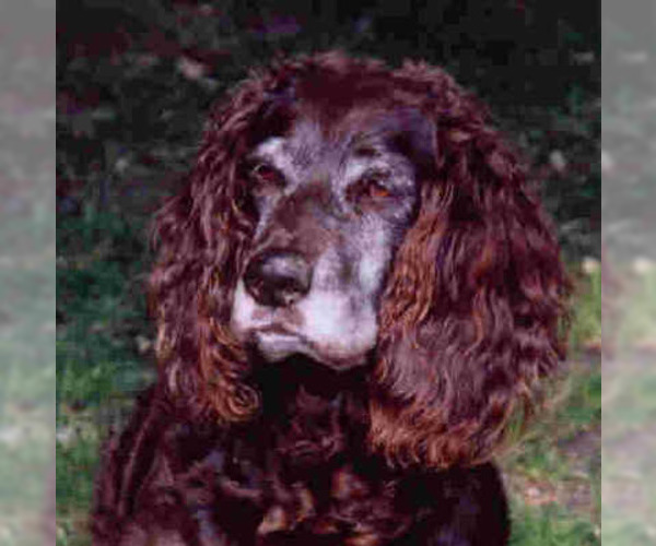 Image of German Spaniel Breed