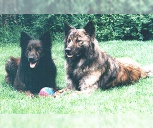 Image (Dutch Shepherd Dog)