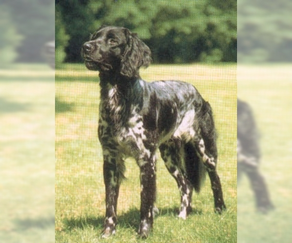 Image of Musterlander Breed
