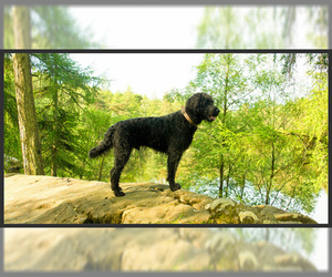 Small #5 Breed Labradoodle image