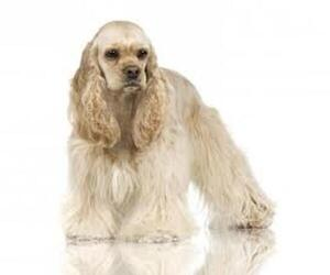Small #4 Breed Cocker Spaniel image