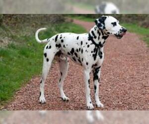 Small #2 Breed Dalmatian image