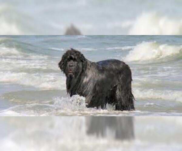 Medium Photo #6 Newfoundland Dog Breed