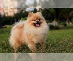 Small Photo #3 Pomeranian Dog Breed