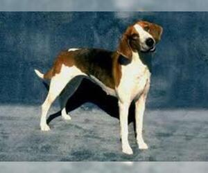 Small #4 Breed American Foxhound image