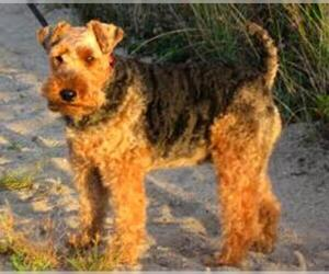 Small #7 Breed Welsh Terrier image