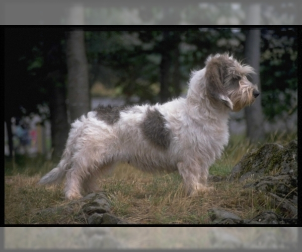 Image of Petit Basset Griffon Vendeen Breed