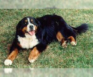 Small #2 Breed Bernese Mountain Dog image