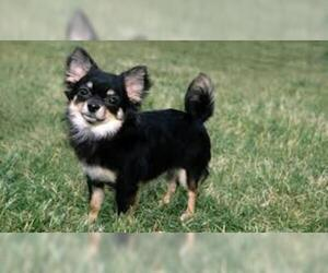 Small Photo #5 Chihuahua Dog Breed
