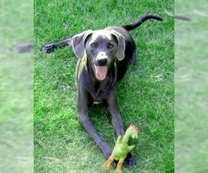 Image of Blue Lacy breed