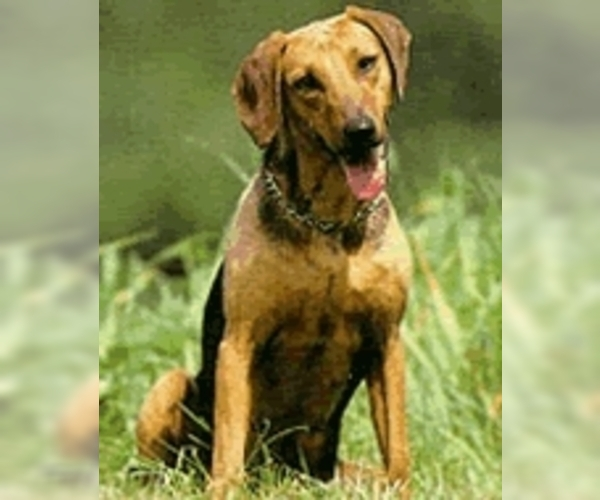 Image of Balkan Hound Breed