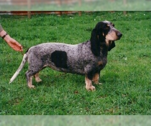 Image of Blue Gascony Basset breed