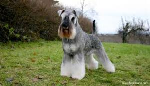 Small #3 Breed Schnauzer (Miniature) image