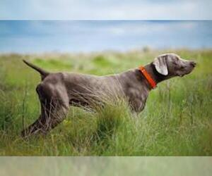 Small #4 Breed Weimaraner image