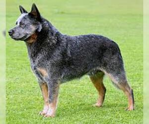 Small #1 Breed Australian Cattle Dog image