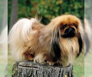 Small #5 Breed Pekingese image