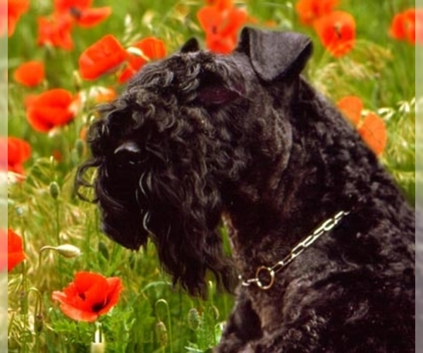 Image of Kerry Blue Terrier Breed