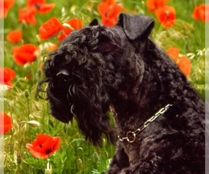 Samll image of Kerry Blue Terrier
