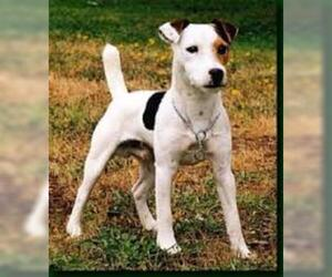 Small #4 Breed Parson Russell Terrier image