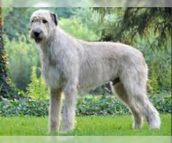 Medium Photo #4 Irish Wolfhound Dog Breed