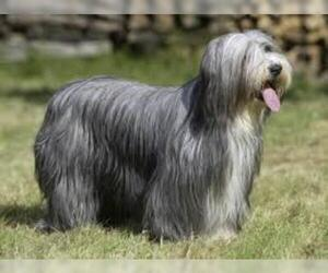 Small #1 Breed Bearded Collie image