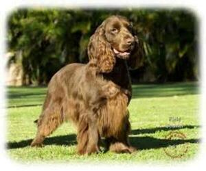 Small #3 Breed Field Spaniel image