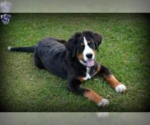 Bordernese Breed Information And Pictures On Puppyfinder Com