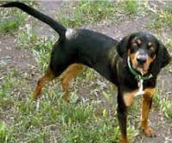 Medium Photo #7 Black and Tan Coonhound Dog Breed