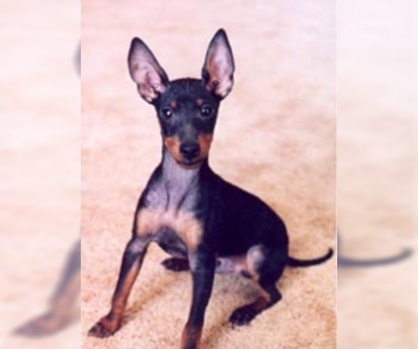 Image of Manchester Terrier (Toy) Breed