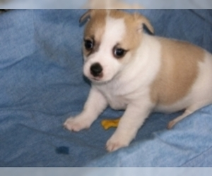 Ratese puppies for sale and Ratese dogs for adoption