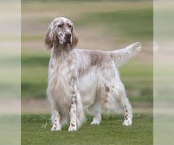 Medium Photo #7 English Setter Dog Breed