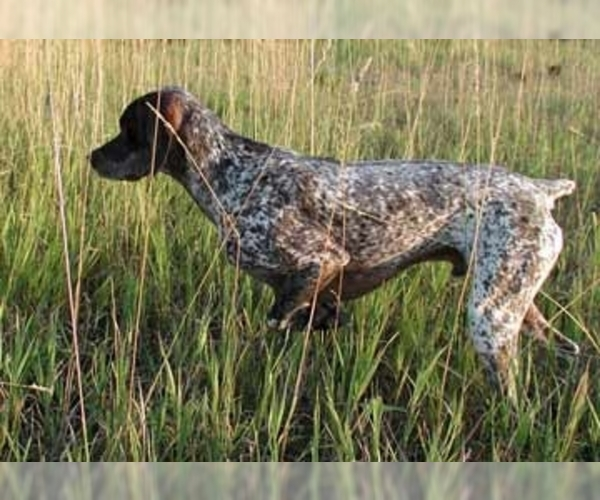 Image of Bourbonnais Pointer Breed
