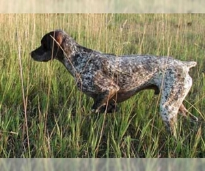 Image of breed Bourbonnais Pointer