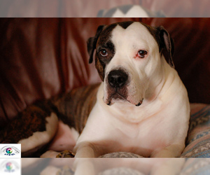 Small #8 Breed American Bulldog image