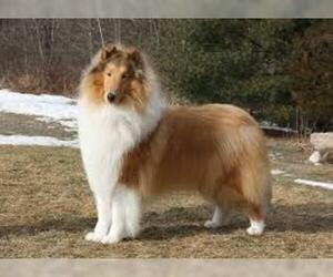 Small #3 Breed Collie image