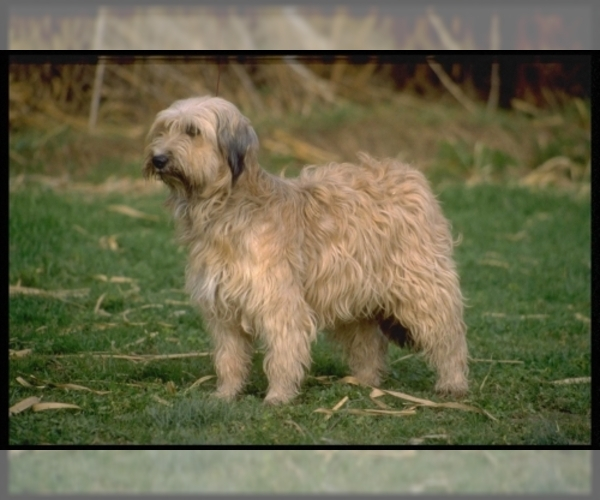 Image of Tibetan Terrier Breed