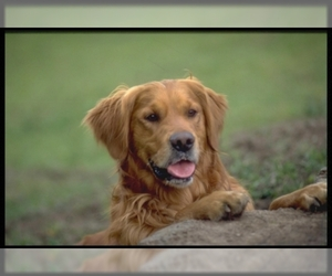 Small #1 Breed Golden Retriever image