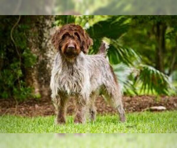Medium Photo #8 Wirehaired Pointing Griffon Dog Breed