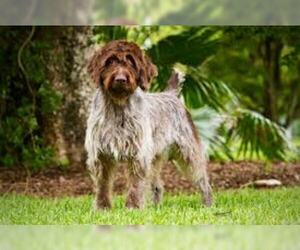 Small #7 Breed Wirehaired Pointing Griffon image