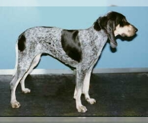 Small Blue Gascony Hound (Petit)