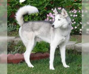Small #4 Breed Siberian Husky image