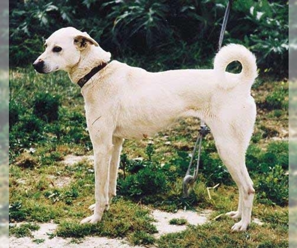 Image of Cretan Hound Breed