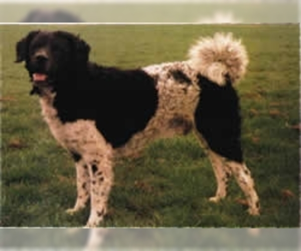 Image of Dutch Spaniel Breed